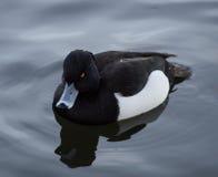 tufted утка Стоковая Фотография