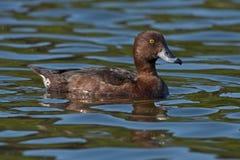 Tufted заплыв утки на озере Стоковые Изображения RF