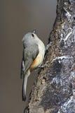 tufted bicolor mes för baeolophus Fotografering för Bildbyråer