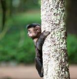 Tufted Capuchin в дереве Стоковое Фото
