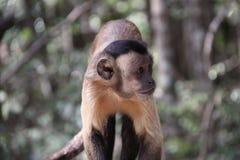 tufted capuchin младенца Стоковое Изображение