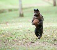 Tufted Capuchin с кокосом Стоковые Фото