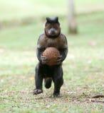 Tufted Capuchin с кокосом Стоковое Фото