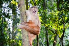 Tufted Capuchin, также как Брайн или Черно-покрытый Capuchin взбираясь дерево в национальном парке Tambopata, Перу Стоковое Фото