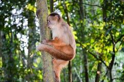 Tufted Capuchin, также как Брайн или Черно-покрытый Capuchin взбираясь дерево в национальном парке Tambopata, Перу Стоковое Изображение
