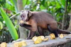Tufted Capuchin, также как Брайн или Черно-покрытый Capuchin подал с бананами штатом национального парка Tambopata, в Перу Стоковая Фотография RF