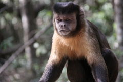 tufted capuchin Стоковое Фото
