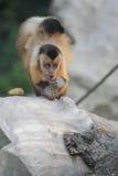 Tufted capuchin Stock Photos