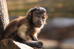 Tufted capuchin Stock Images