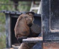 tufted capuchin Стоковое Изображение