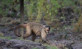 tufted capuchin Стоковая Фотография RF