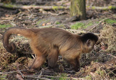 tufted capuchin Стоковое фото RF