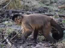 tufted capuchin Стоковые Изображения RF