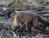tufted capuchin Стоковые Изображения