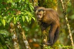 tufted capuchin Стоковая Фотография