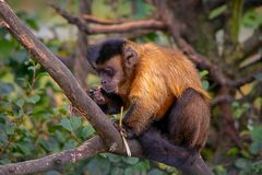 Tufted capuchin, aap, voedsel, boom royalty-vrije stock afbeelding