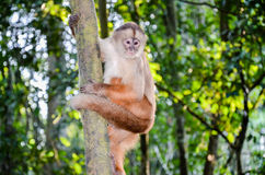 Tufted Capuchin, also known as Brown or Black-capped Capuchin climbing a tree in Tambopata National Park, Peru Stock Photo