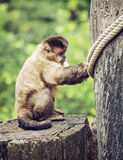 Tufted capuchin (apella Cebus) сидя на пне дерева, животном Стоковые Фото