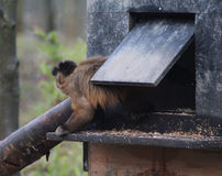Tufted capuchin Royalty Free Stock Photos