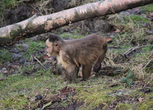 Tufted capuchin Royalty Free Stock Photography