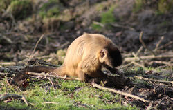 Tufted capuchin Royalty Free Stock Images