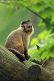 Tufted capuchin. The tufted capucin sitting on the trunk in the rain Royalty Free Stock Photo