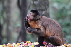 Tufted Capuchin (Cebus Apella) Royalty Free Stock Photography