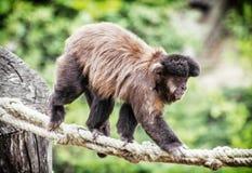 Tufted capuchin (Cebus apella) climbing on rope, animal theme. Tufted capuchin (Cebus apella) climbing on rope. Animal theme. Beauty in nature Royalty Free Stock Photo