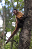 Tufted capuchin (Cebus apella). Climbing on a tree trunk stock photo