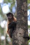 Tufted capuchin (Cebus apella). Climbing on a tree trunk stock photos