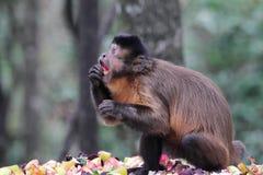 Tufted capuchin (Cebus apella). Eating fruit royalty free stock photography