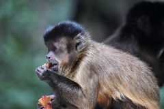 Tufted capuchin (Cebus apella) Stock Photography