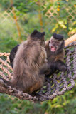 Tufted Capuchin (Cebus apella) Royalty Free Stock Images