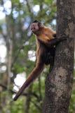 Tufted Capuchin (den Cebus apellaen) Arkivfoto