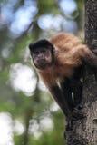 Tufted Capuchin (den Cebus apellaen) Royaltyfria Bilder