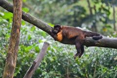 Tufted capuchin monkey asleeps Royalty Free Stock Image