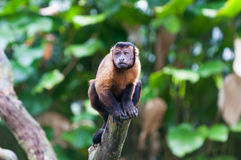 Tufted Capuchin. A tufted capuchin monkey (Cebus apella) among the trees at the Singapore Zoo royalty free stock photography