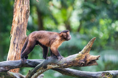 Tufted Capuchin. A tufted capuchin monkey (Cebus apella) among the trees at the Singapore Zoo stock photography