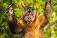 Tufted Capuchin Stock Image