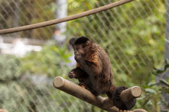 Tufted capuchin monkey. Of the genus Cebus apella apella sits in on a tree branch and eats stock image