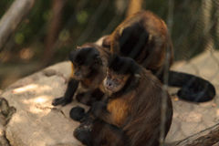 Tufted capuchin monkey of the genus Cebus apella apella. Sits in on a tree branch and eats Stock Image