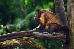 Tufted capuchin monkey Royalty Free Stock Photos