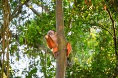 Tufted Capuchin, också som är bekant, som den bruna eller Svart-korkade capuchinen matade med bananer vid den Tambopata nationalp Royaltyfri Foto