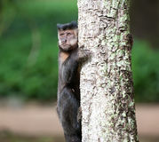 Tufted Capuchin in a tree Stock Image