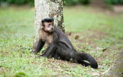 Tufted Capuchin by a tree. A Tufted Capuchin sits next to the trunk of a tree in the Rio de Janeiro botanical gardens Royalty Free Stock Image