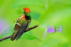 Tufted Coquette, colorful hummingbird with orange crest and collar in the green and violet flower habitat, Trinidad. And Tobago Royalty Free Stock Photography