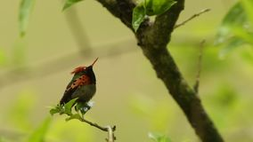 Tufted coquette, Lophornis ornatus sitting on branch during rain, bird from rain tropical forest, Trinidad and Tobago