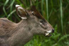 Tufted Deer Stock Photos