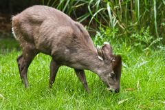 Tufted Deer. The small tufted Deer lives retiring in the woods of Birma and China Royalty Free Stock Photo