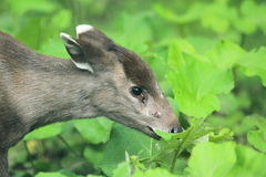 Tufted deer. The detail of tufted deer in the grass Royalty Free Stock Images